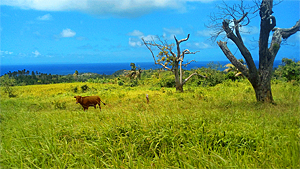 Cattle grazing near Jacoway Inn in Calibishie, Dominica