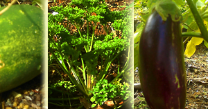 Vegetables grown in a Dominica garden of 4 acres, with mature gardens and woodland overlooking the mountains beyond.