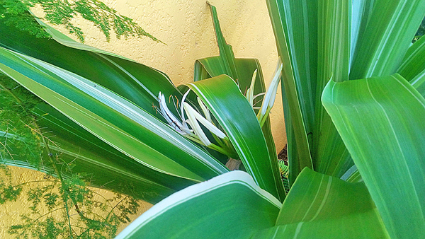Spider Lilly, bursting with life in its private corner!